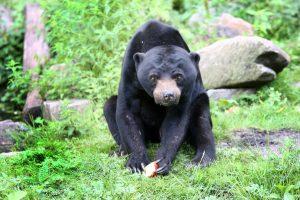 Een beer van de ene naar de andere dierentuin verplaatsen, zó ziet dat eruit