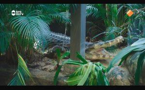 Kijkers vol ongemak bij nogal intieme beelden van krokodil in Artis-docu