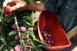 Fruitboer Kees had 60.000 kilo pruimen over en heel Holland helpt hem ervan af