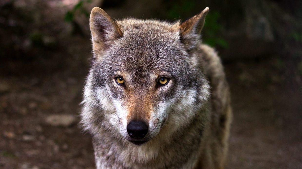 Thumbnail voor Waarom we (niet) blij moeten zijn dat de wolf definitief in Nederland woont
