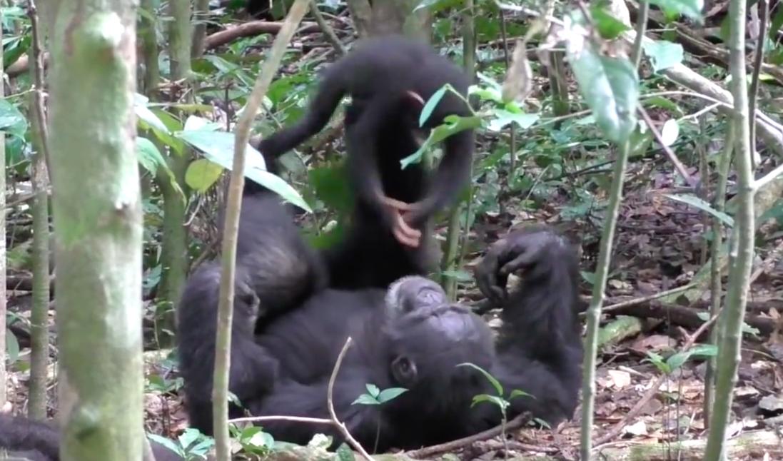Thumbnail voor Aapjes kijken: chimpansees spelen 'vliegtuigje' (met turbulentie)