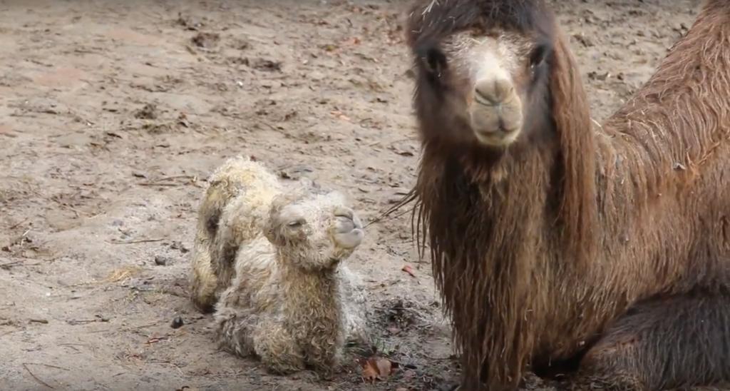Babykameel geboren in Dierenpark Amersfoort en wij vreten deze eerste beelden op