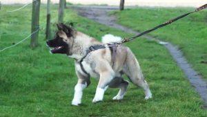 Hond Aram heeft meerdere honden flink aangepakt. Zo leer je hem dat af.