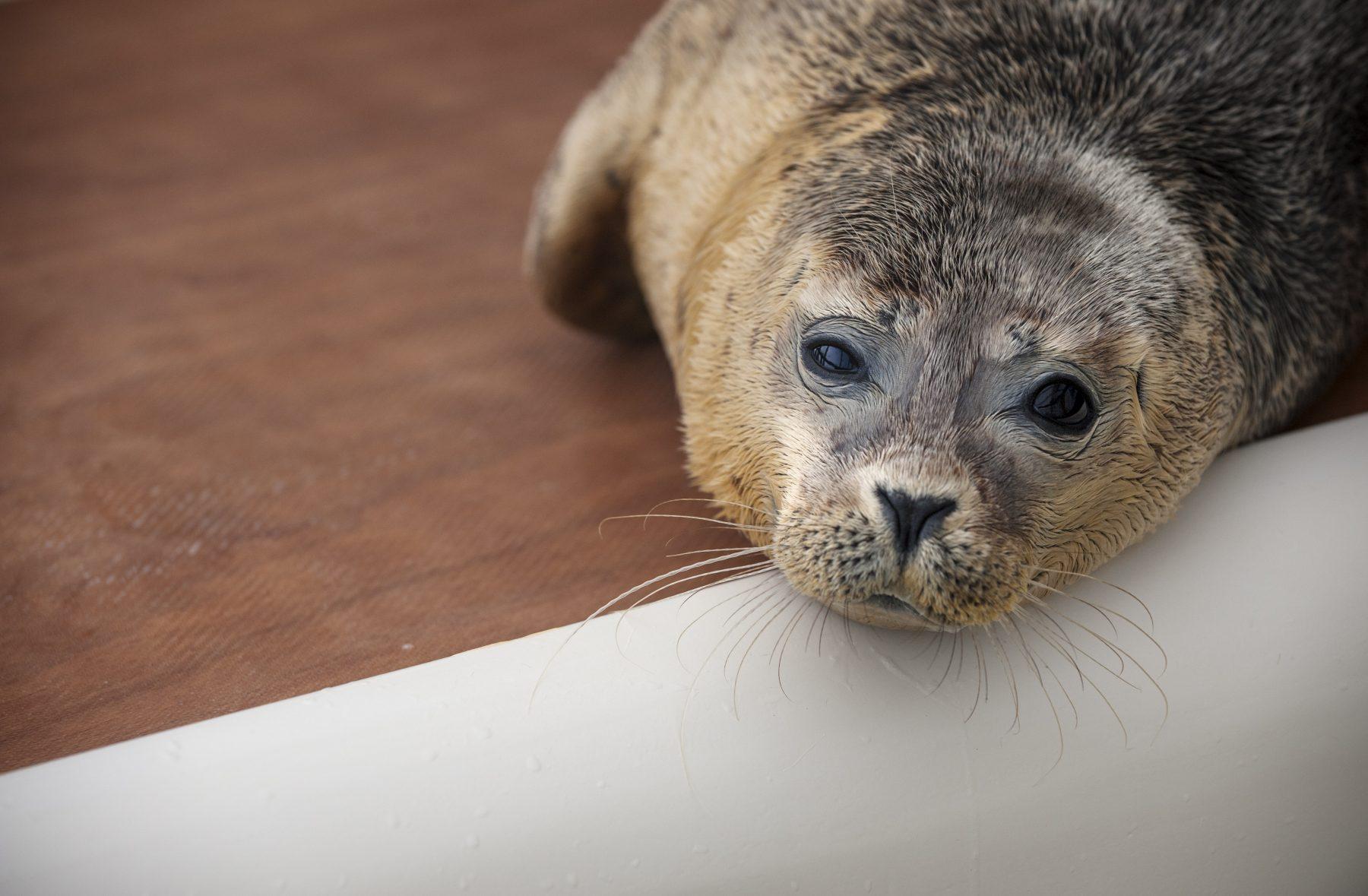 In plastic verstrengelde zeehonden aangespoeld op strand Zeeland