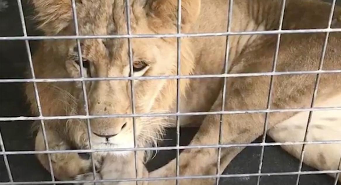 simba-leeuw