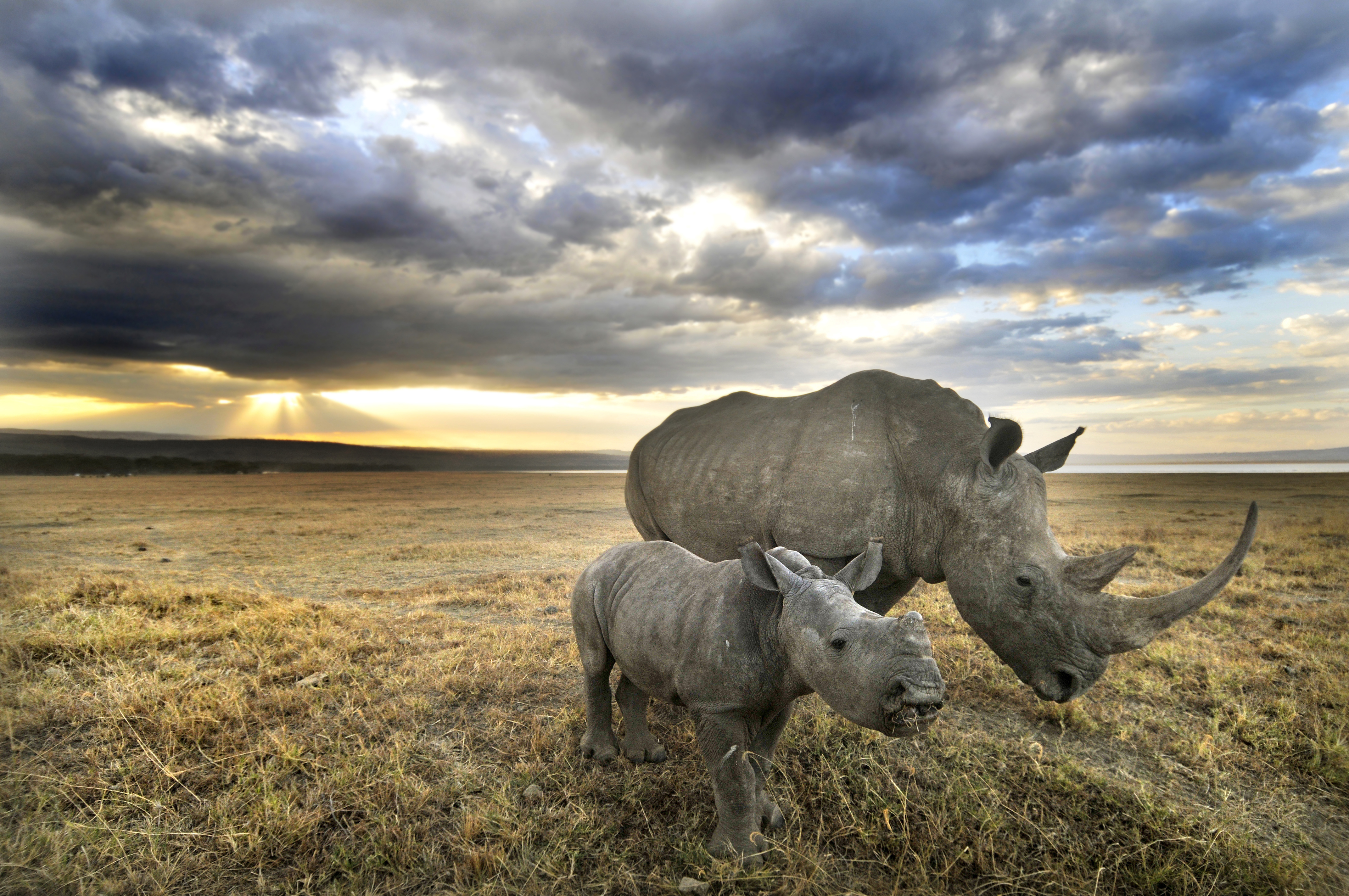 A white rhino and her baby head towards home after a long day of grazing in Nakuru.