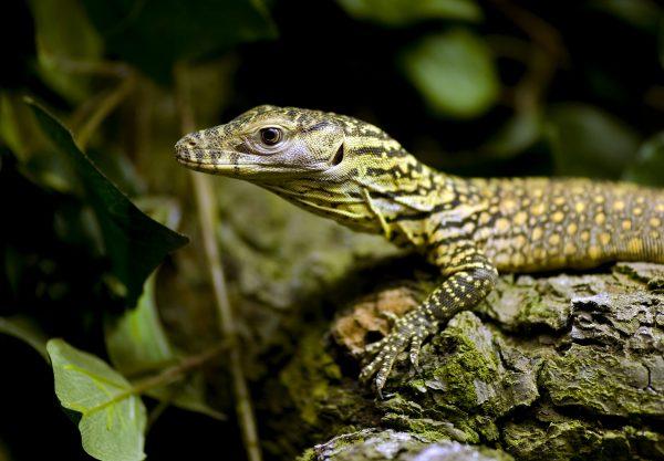 Komodovaraan op Indonesiche eiland Komodo