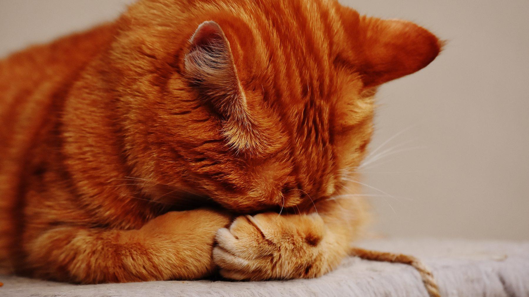 rode kat dierproef proefdieren proefdier