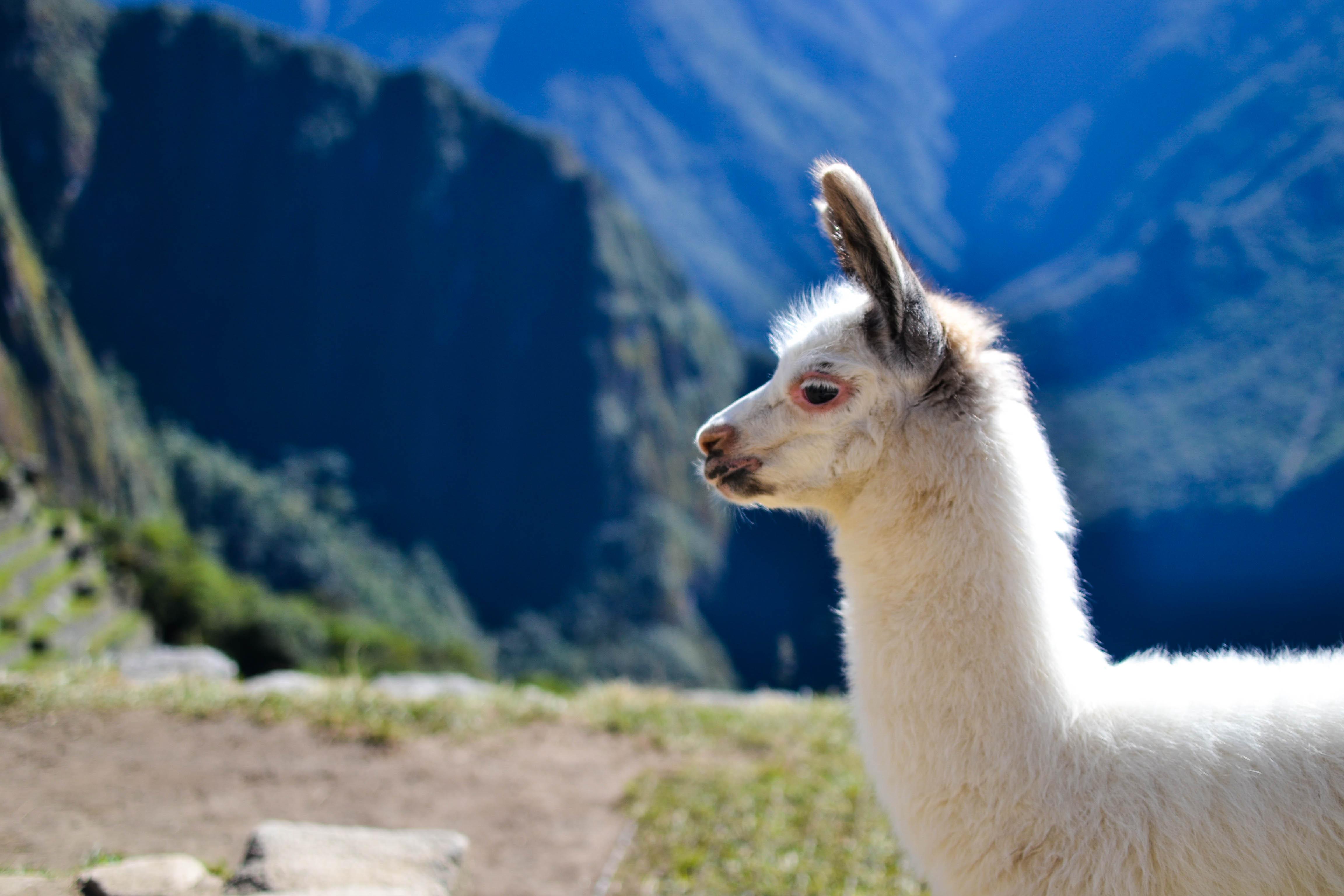 Juvenile Alpaca on Machu Picchu