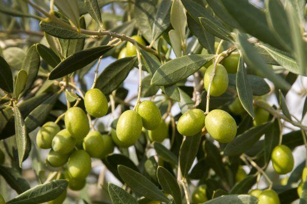 Groene olijfboom