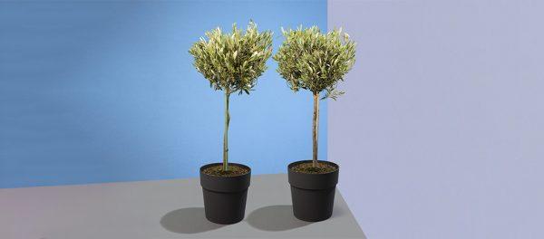 Set van 2 olijfbomen in Elho pot