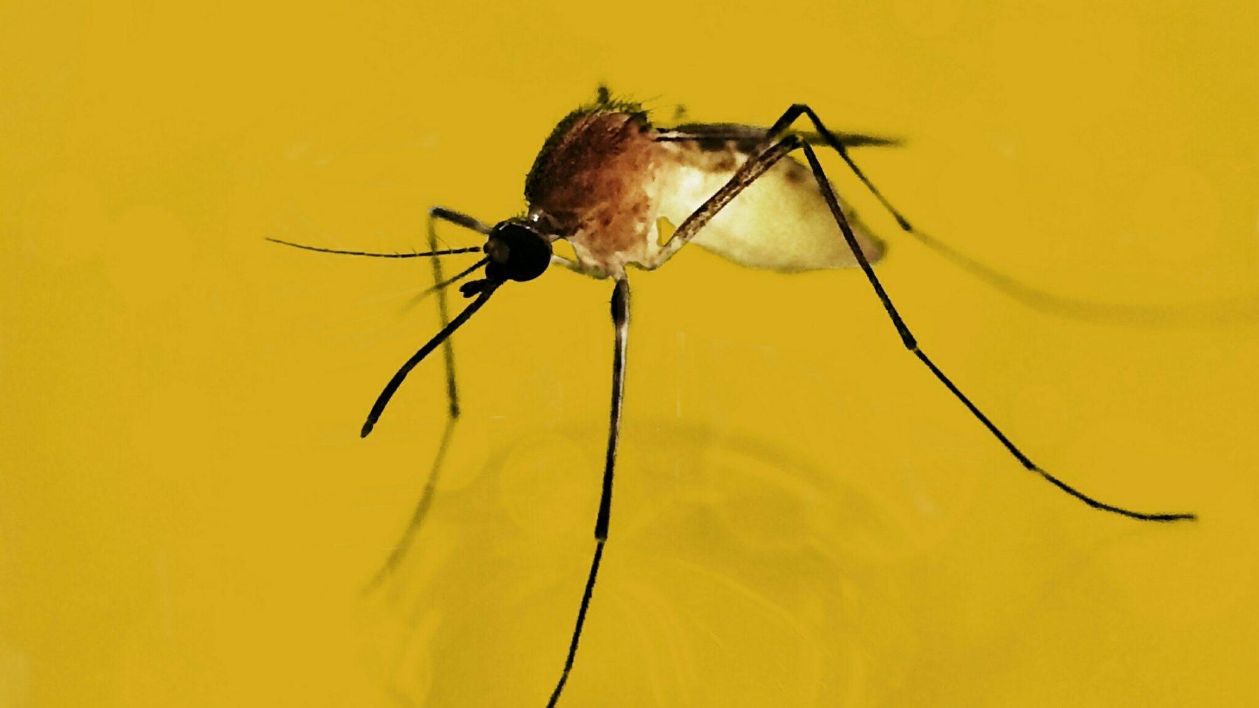 Muggen in Grieken kunnen westnijlvirus hebben