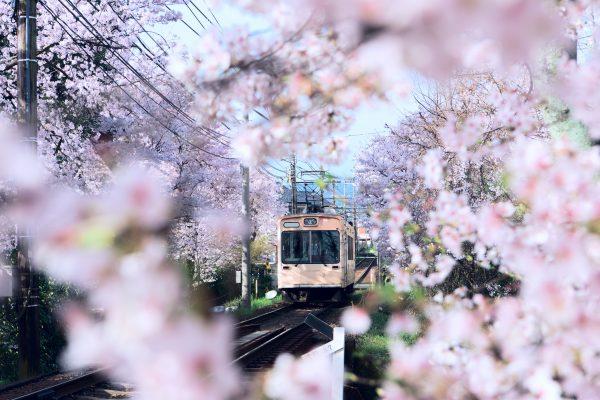 a train passing through cherry blossom trees