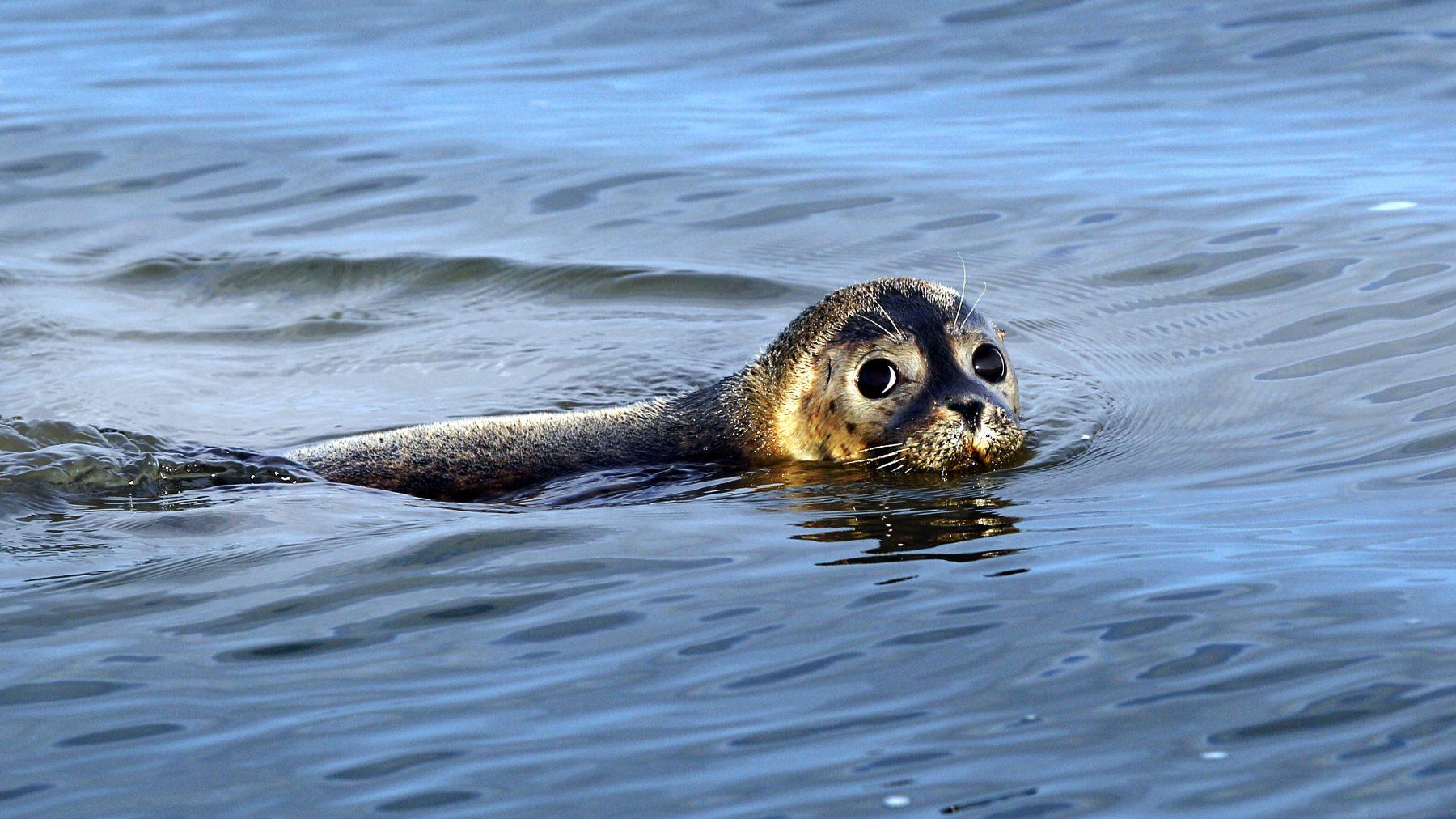 Verdwaalde zeehond zwemt rond bij Amsterdam