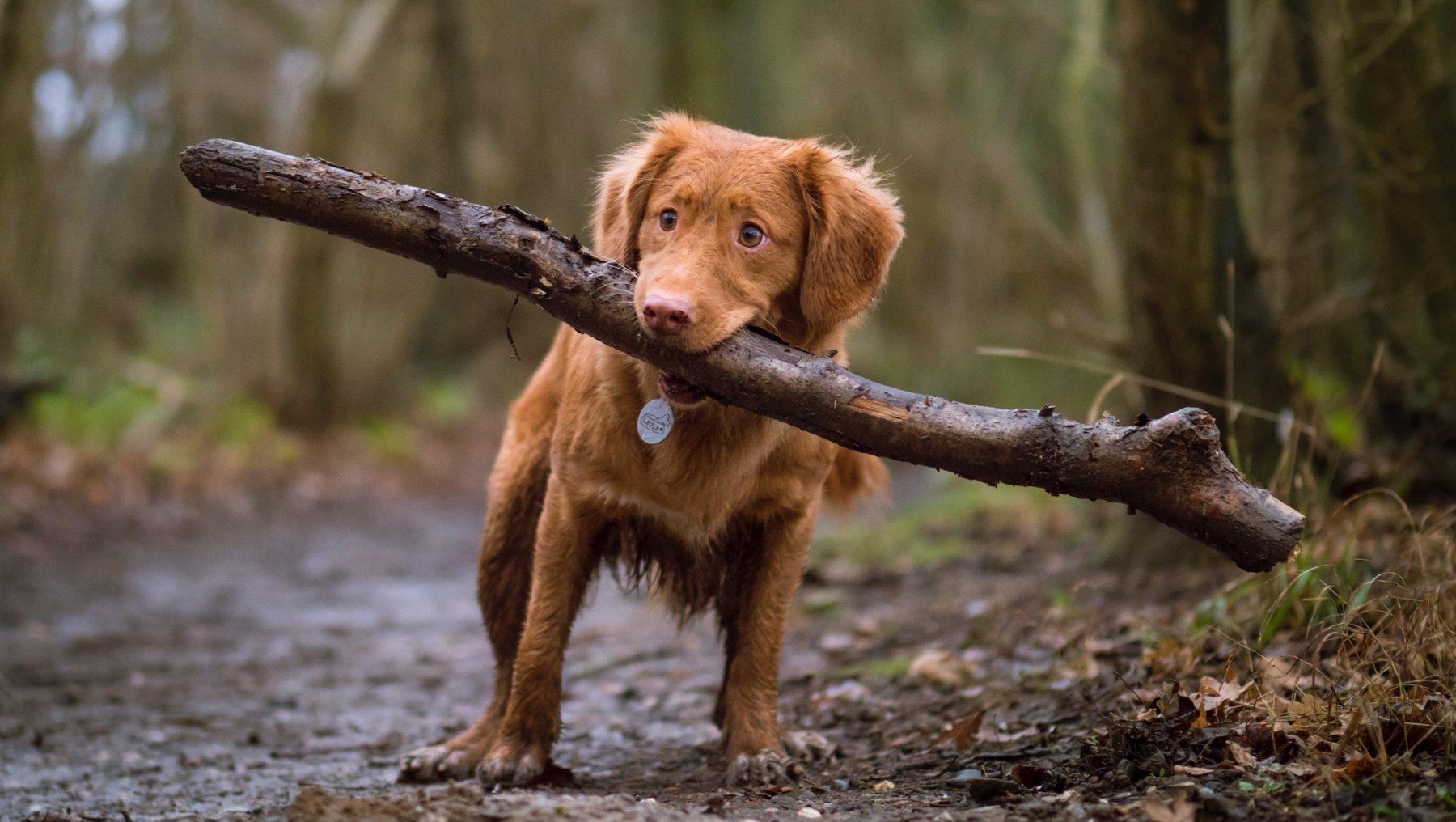 Processierups ook gevaarlijk voor huisdieren, dit moet je weten