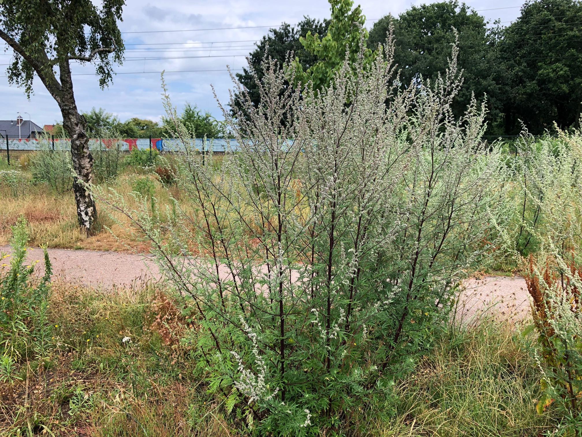 Bijvoetplant hooikoorts pollen