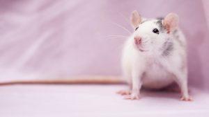 Thumbnail voor Het ratten- en muizenseizoen is in aantocht, zo houd je de beestjes buiten