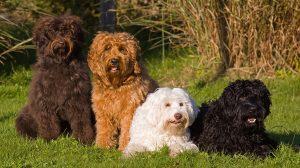 Thumbnail voor Hondenfokker over zorgen rond labradoodle: 'Mensen gaan helemaal los met fokken'