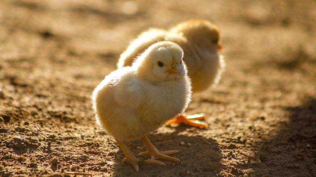 vleeskuiken dierenmishandeling
