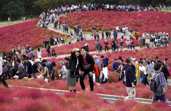 bassia scoparia in Japan