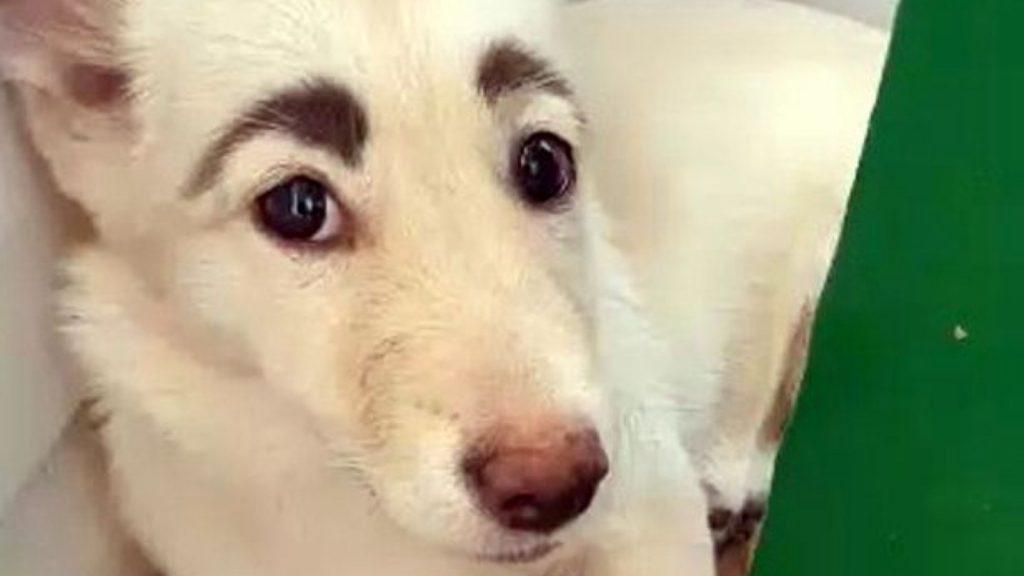 hond wenkbrauwen rusland