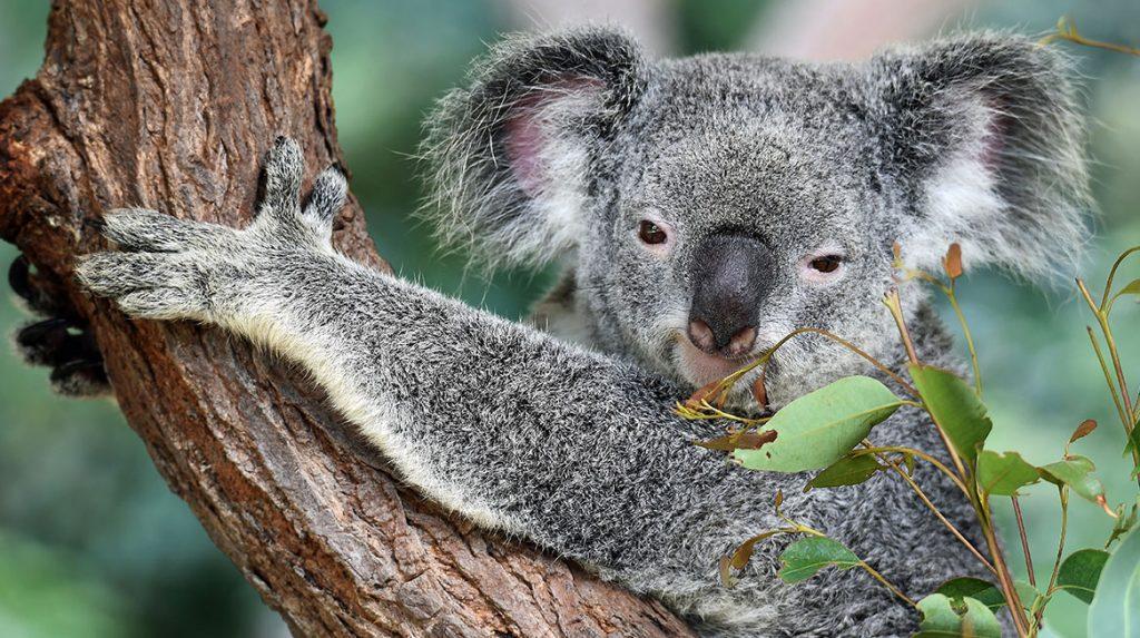 Helft-koalapopulatie-uitgestorven-door-grote-bosbranden-natuurpark-Australie