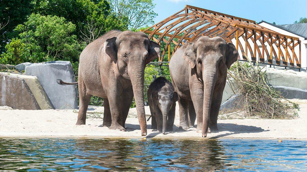 Artis in blijde verwachting van een babyolifant