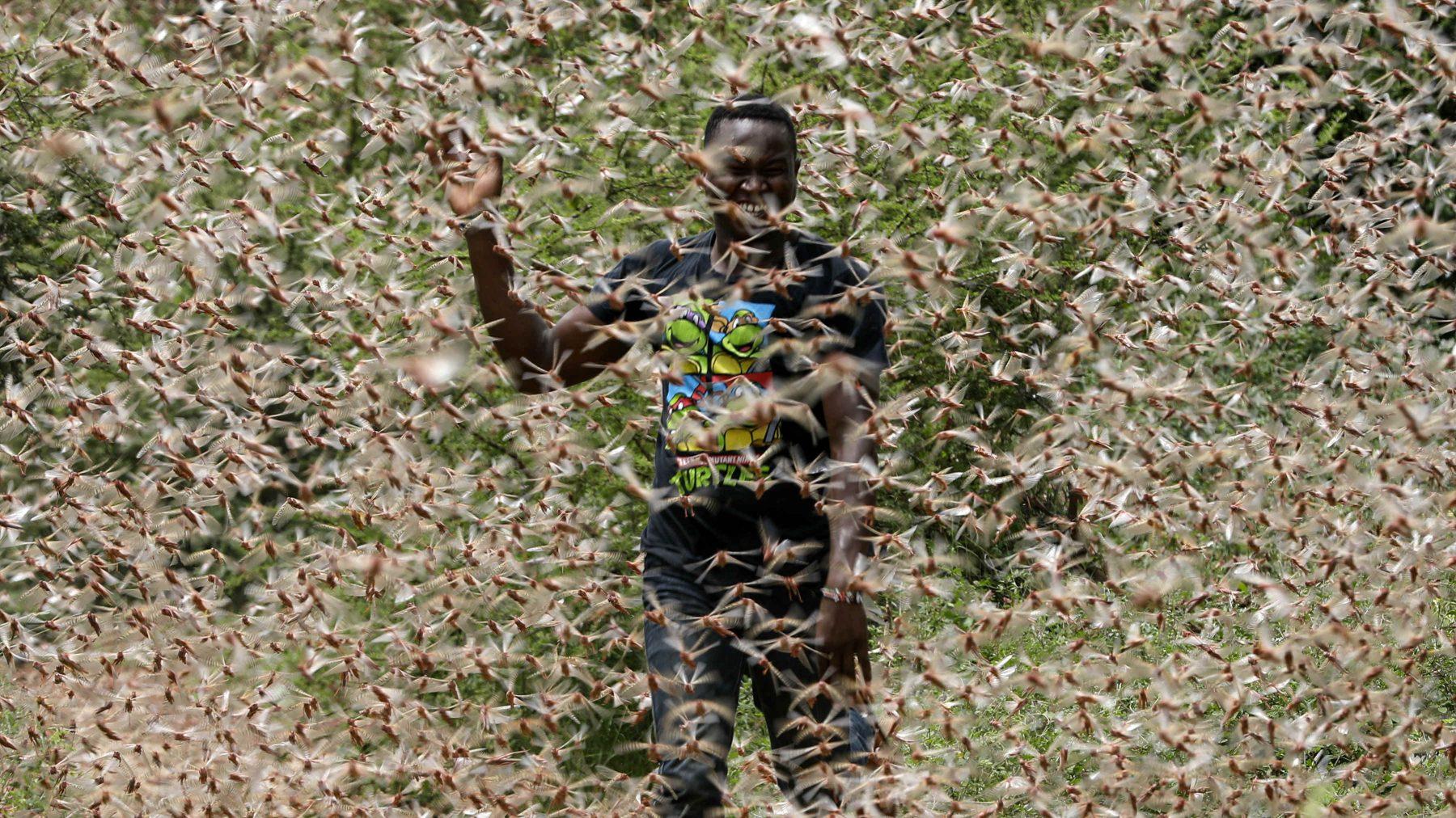 Sprinkhanen veroorzaker dreigende hongersnood Oost-Afrika