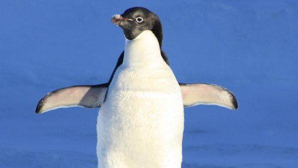 In dit aquarium waggelen in corona-tijd geen bezoekers maar... pinguïns