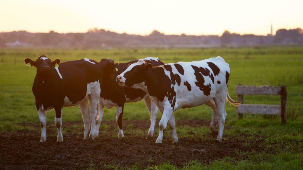 Zeker geen boe-geroep: vrouw en koe zingen samen duet