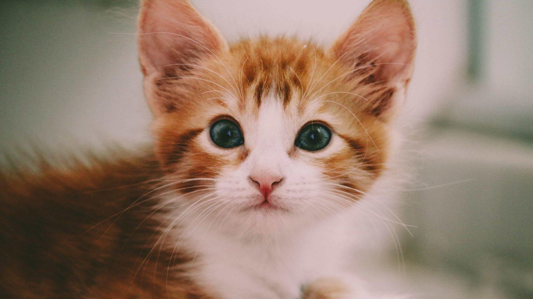 kat poes kitten huisdier coronastress