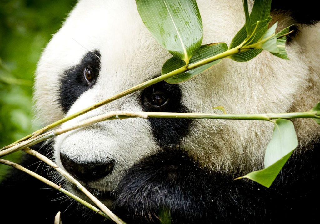 Brenda (37) is pandaverzorger en ja, dat is écht de beste baan van de wereld