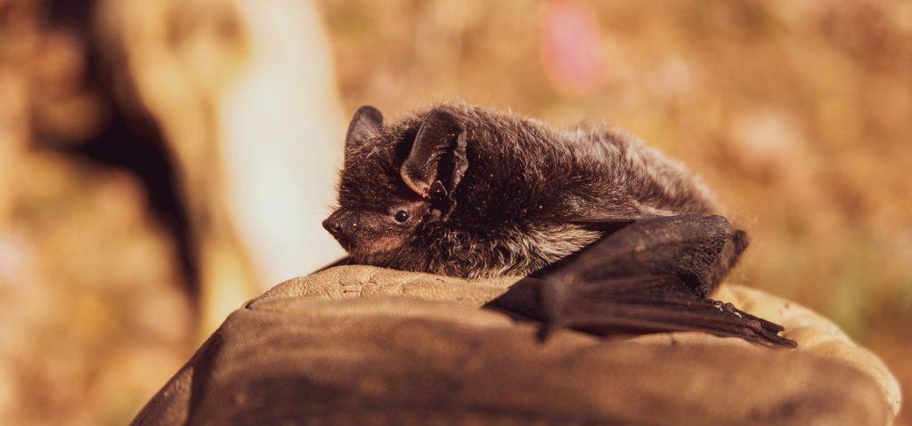 Niet zo'n beste reputatie, maar wel nuttig: tel dit weekend vleermuizen