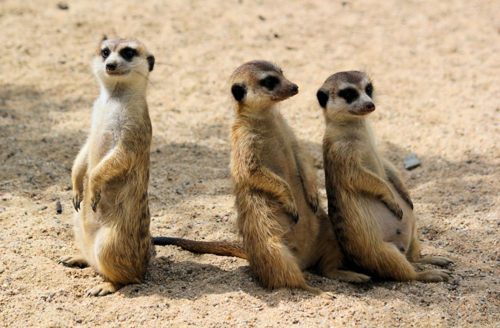 Vier stokstaartjes geboren in Safaripark de Beekse Bergen (en dit zijn de eerste beelden)