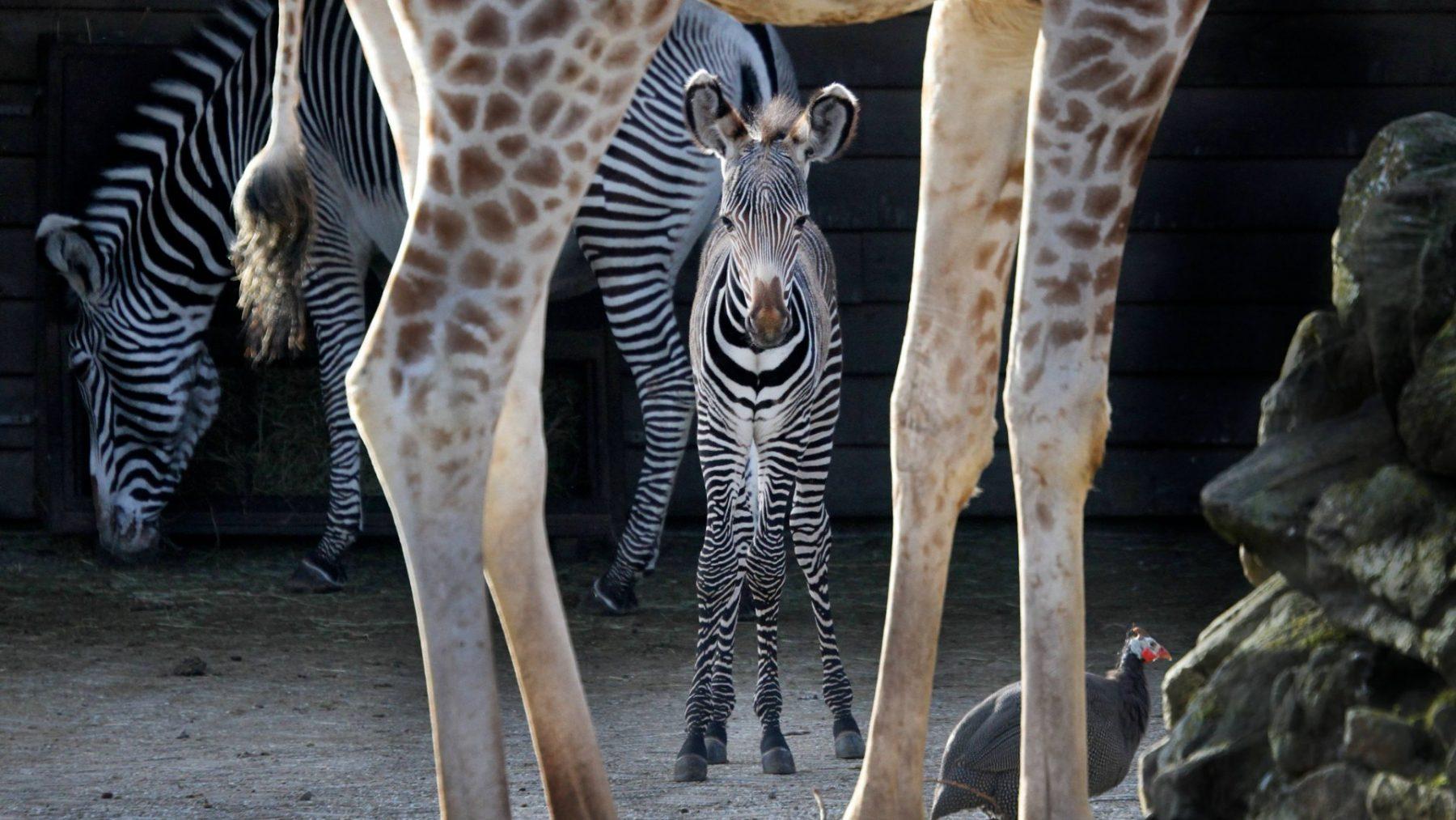 Dierentuin ARTIS apetrots op pasgeboren Grévy-zebra