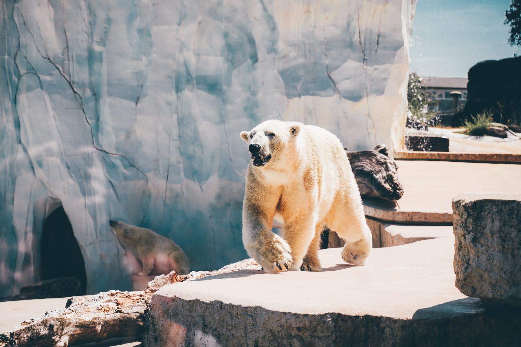 'Als we zo doorgaan, zijn er geen ijsberen meer in 2100'