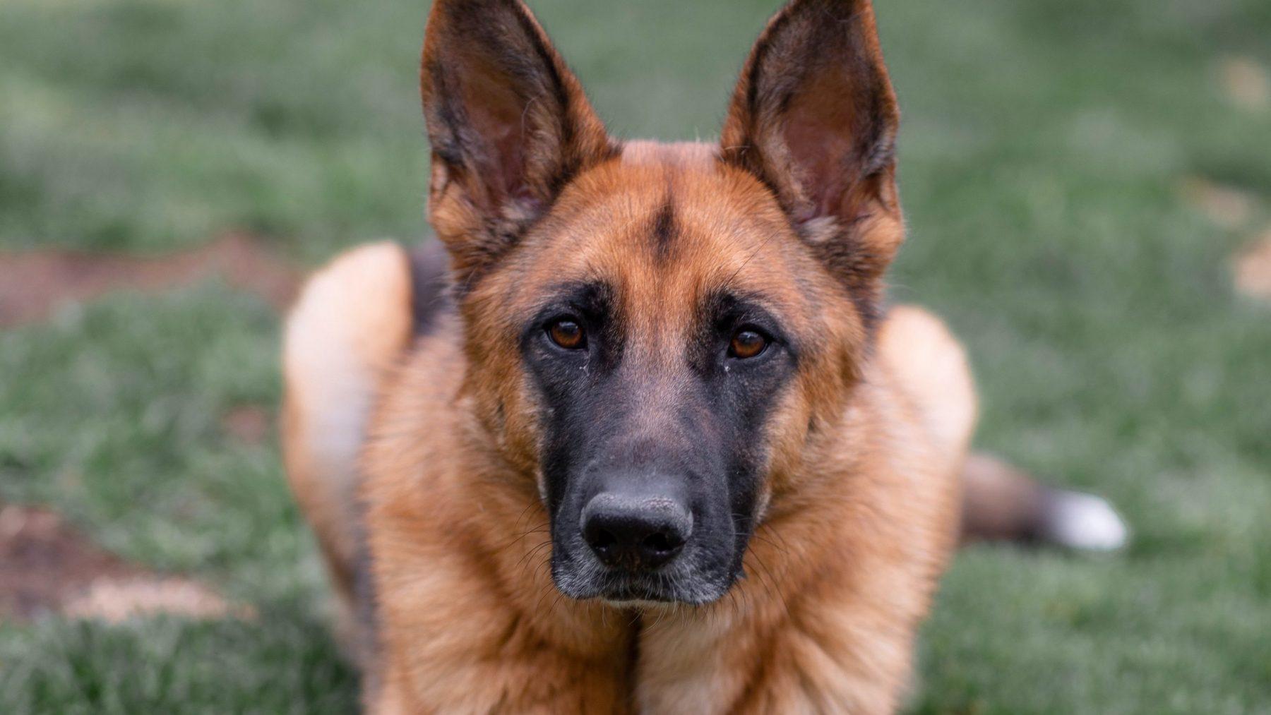 hond coronavirus