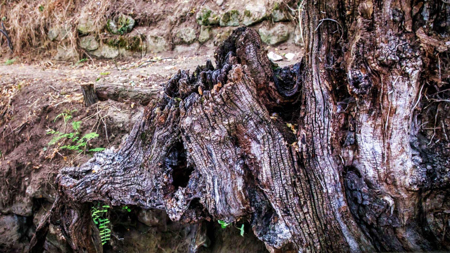 Ruzie en onrust in Auvers-sur-Oise door 'Boomwortels' van Van Gogh