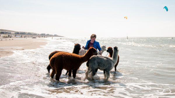 Bij Alpaca's Zeelandia van Mara (35) kun je wandelen met alpaca's