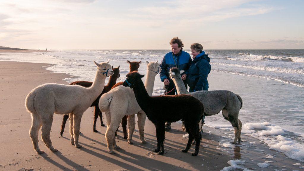 Mara Houmes-Vlaander wandelt met haar alpaca's: 'Ze poepen en piesen in de zee'