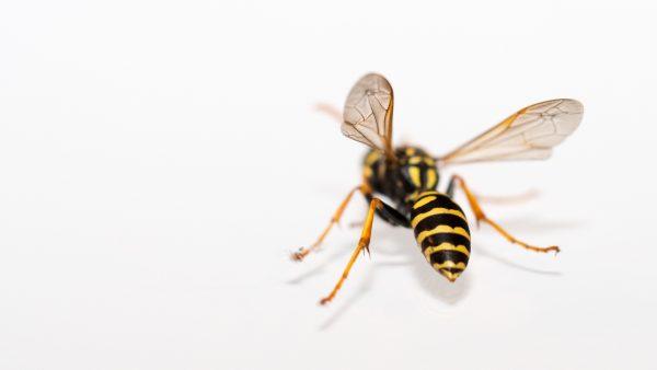 Hans Scheepmakers overleed zonder allergie aan een wespenaanval: hoe dat kon gebeuren