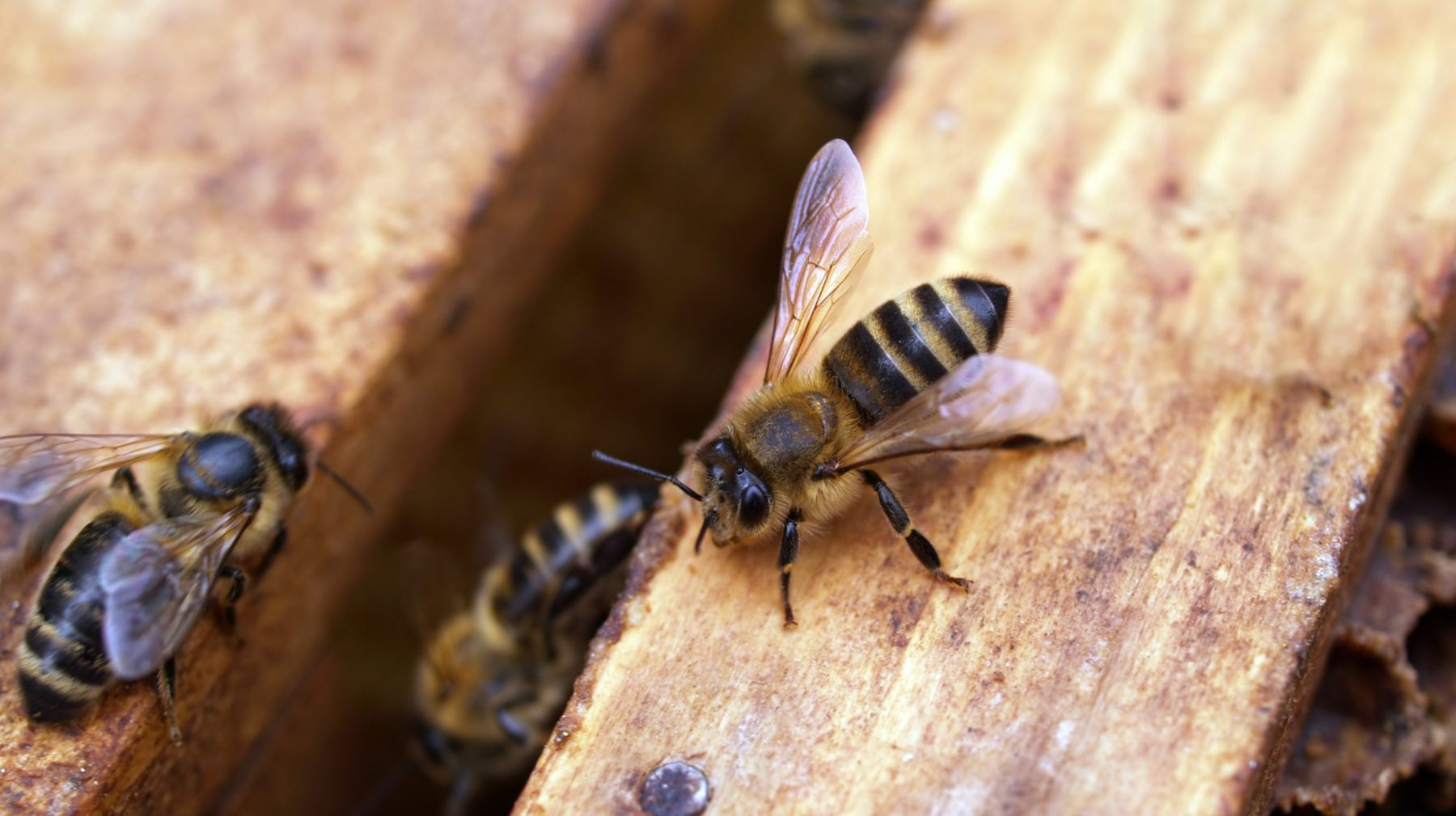 Hoe je zonder allergie kunt overlijden aan een wespenaanval