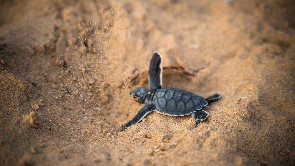 babyschildpadden