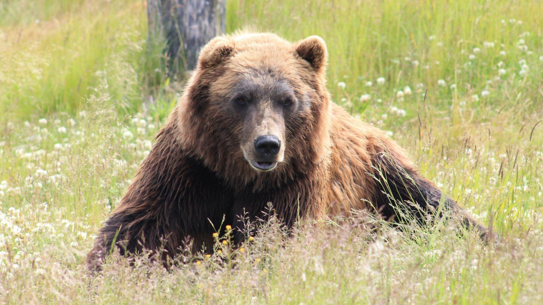 Sibirische rendierherders vinden prehistorische holenbeer die nog volledig in tact is