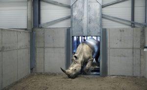 Wildlands isoleert neushoorns van savanne na twee dodelijke incidenten
