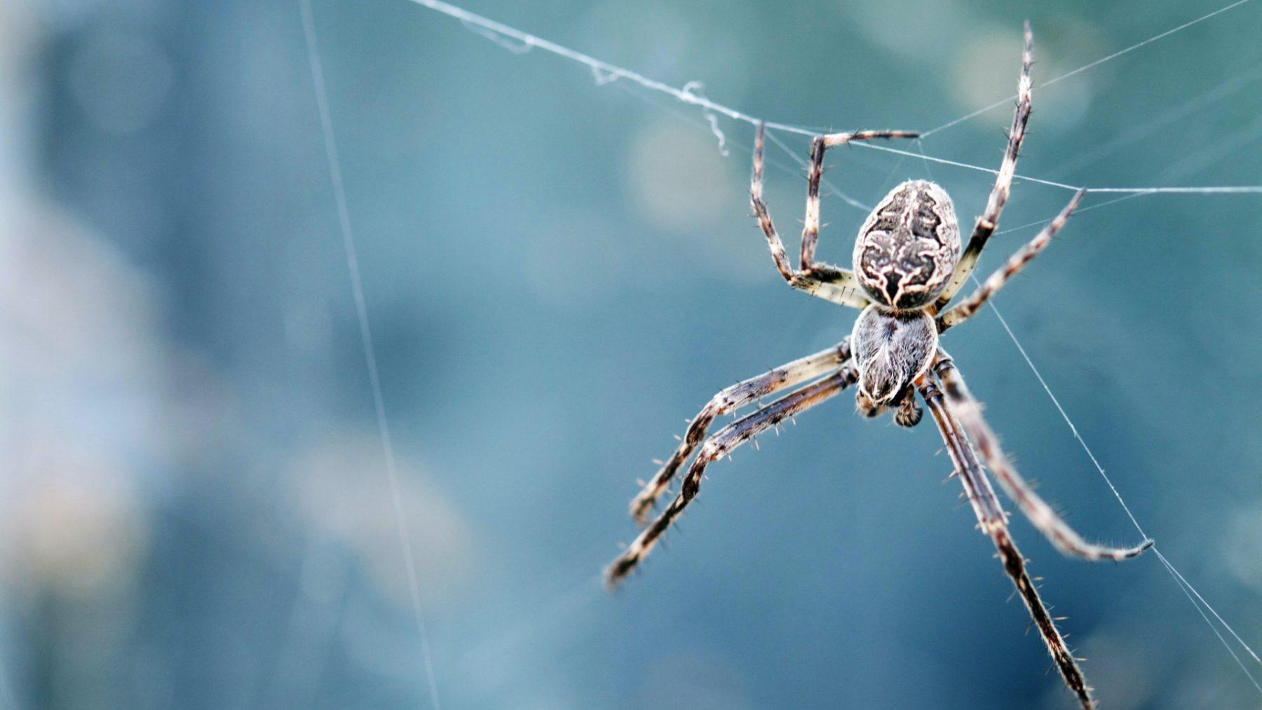Speuren naar spinnen in huis en tuin voor de Nationale Spinnentelling