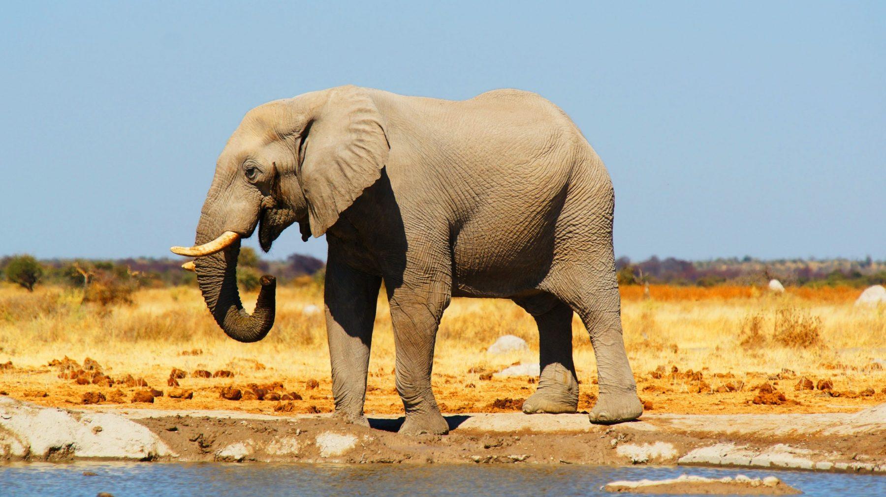 Olifantsterfte Botswana waarschijnlijk veroorzaakt door bacterie