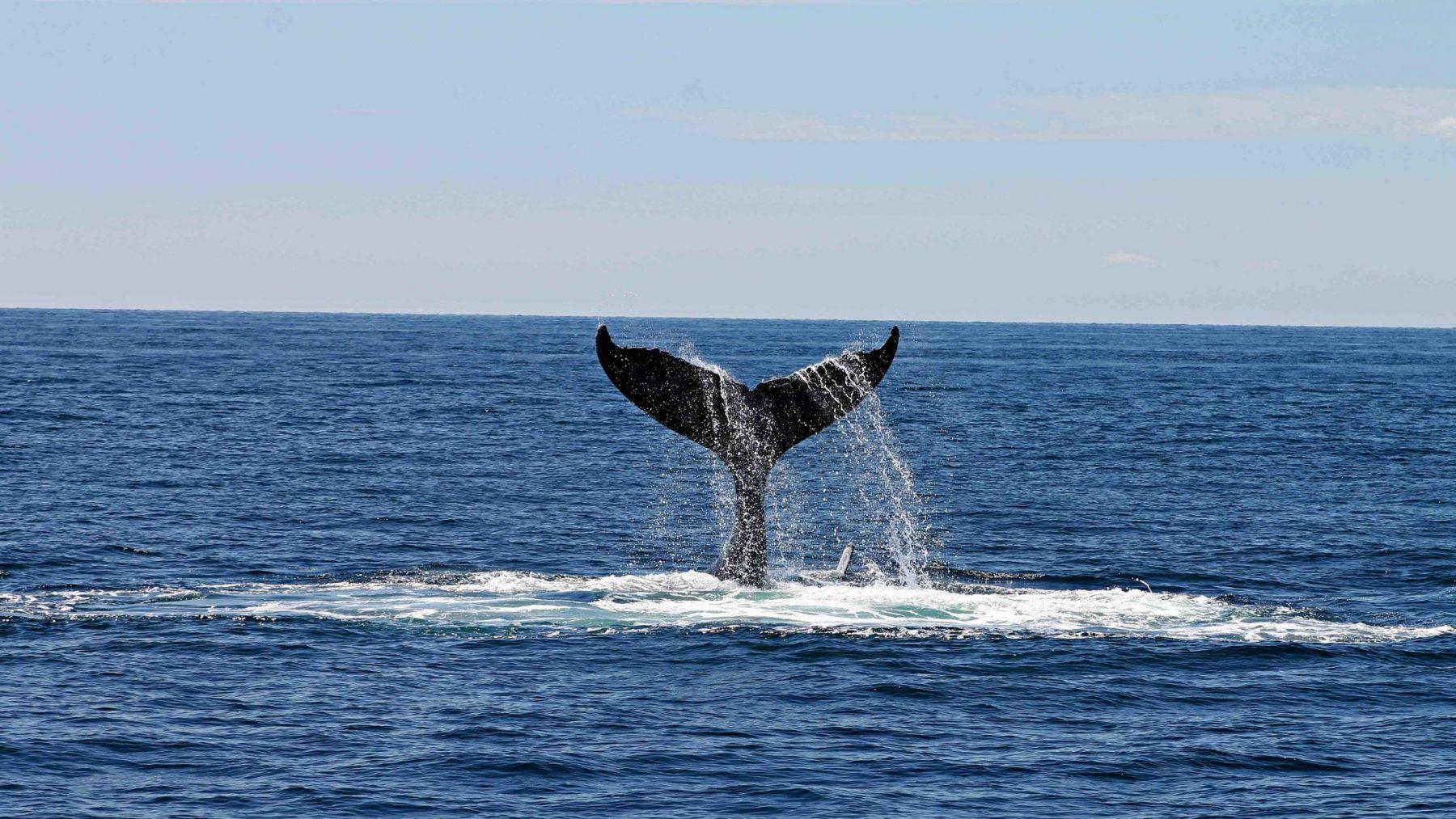 grienden walvissen tasmanie australie