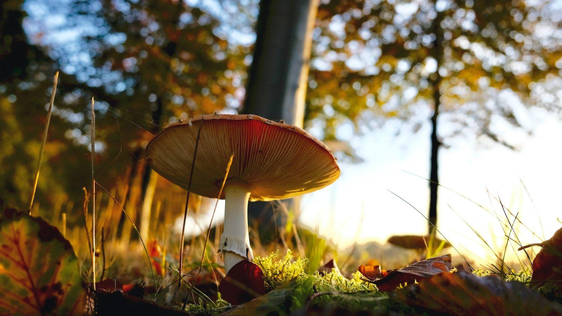 paddenstoelen giftig plukken eten wildplukkers