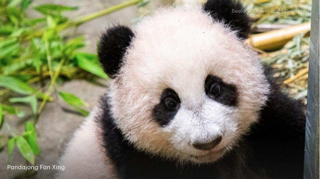 Ach wat zoet: eerste beelden van pandajong Ouwehands Dierenpark te zien